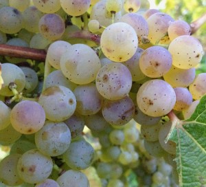 Villa Wolf Riesling Grapes crop 1x1 2012