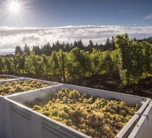 Brooks Winery Riesling harvest, Eola-Amity Hills AVA, Willamette Valley, Oregon